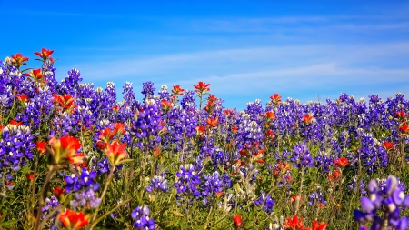 Bluebonnets - pretty, lovely, bluebonnets, summer, spring, beautiful, sky, field