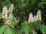 Flowering Horse-Chestnut
