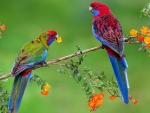 Parrot Couple in a Branch