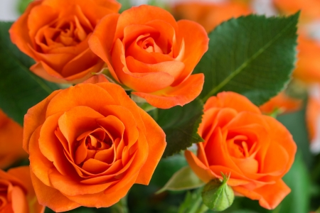 Orange Roses Flowers Nature Background Wallpapers On Desktop