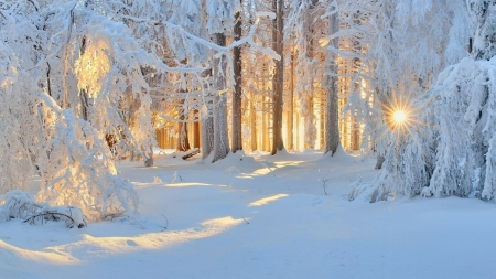 Winter Sunlight - forest, sunlights, snow, nature, trees, winter