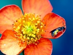 Bee Pollen Orange Flower