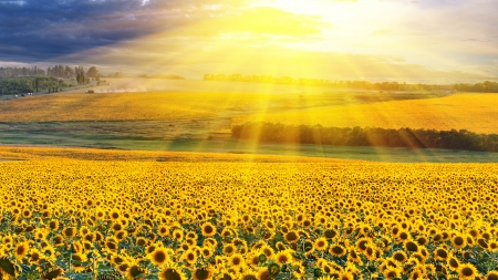 A field of sunflowers - Landscape, Scenery, Sky, Sun, Sunflowers, Field