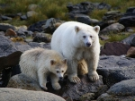 Spirit and Albino Bears In Canada