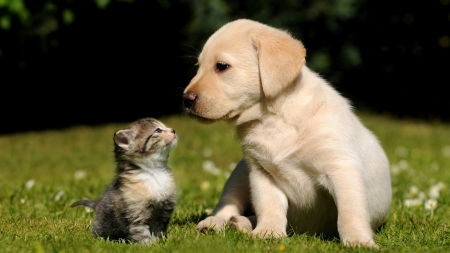 Labrador retriever puppy with a kitten other animals labrador retriever puppy with a kitten other animals background wallpapers on desktop nexus image 2352938 voltagebd Image collections