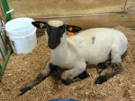 A Sweet County Fair Sheep : )
