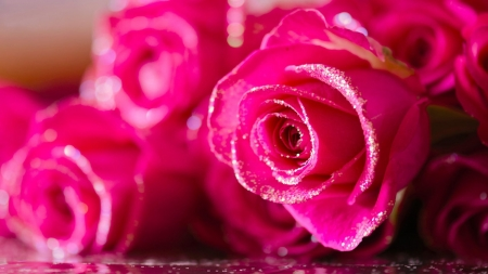 Pretty Pink Roses - flowers, drops, petals, nature, pink, roses