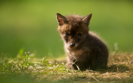 Fox Cub Other Amp Animals Background Wallpapers On Desktop
