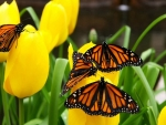 Butterflies on Yellow Tulips