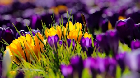Spring crocuses - flowers, clocuses, spring, colorful, beautiful