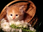 Cute Fluffy Kitten in a Basket