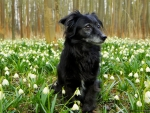 Dog in Snowdrops