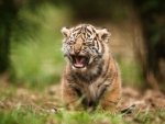 Wildlife Tiger Cub