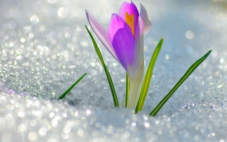 Crocus In The Snow Flowers Nature Background Wallpapers
