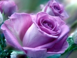 soft purple rose