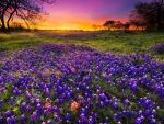 Dawn breaks over a field of bluebonnet