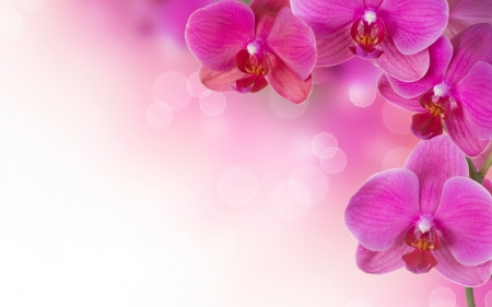 Orchids - orchid, flower, white, pink, card