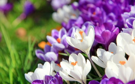 Crocuses - crocus, purple, texture, flower, spring, skin, white, pink