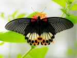 Beautiful Dark Butterfly
