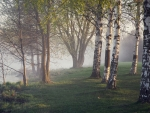 Birches by Misty River