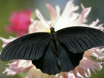 Black Butterfly On White Flowers