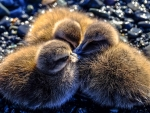 Three little ducks