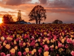 Sunset Over the Tulips Field