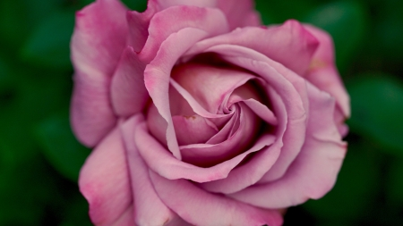 Dusty Pink Rose - rose, flowers, petals, nature, pink