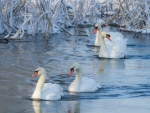 Mute Swans in Winter Pond