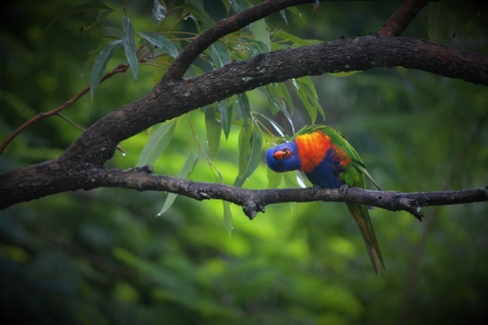 Rainbow Lorikeet Precious - wet, mating dance, adorable, cute, bird, wildlife photography, love, wildlife, precious, rainbowlorikeet, nature, bird watching in Brisbane, Australia, kindness to animals always, raibow colours, animals