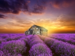 House Field Of Lavender