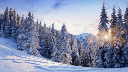 snow covered pine trees winter nature background wallpapers on