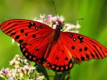 Red Butterfly Collects Nectar