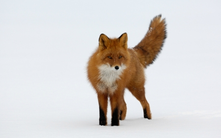 Red Fox - red fox, snow, winter, fox