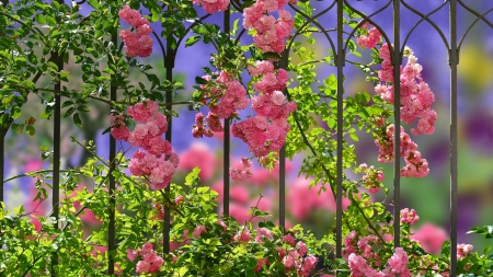 Roses On A Fence - pink, Spring, fence, roses, leaves