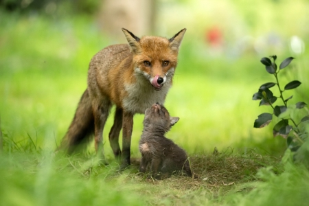 Mother Fox and her Cub - foxes, nature, animals, outdoors