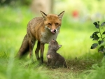 Mother Fox and her Cub