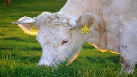 Pretty cow - Grass, Pretty, Eating, Cow