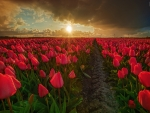 Field of Scarlet Tulips
