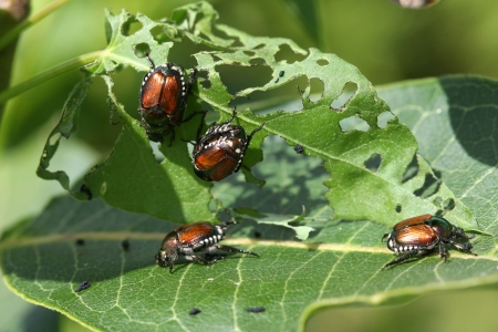 japanese beetles - insect, beetles, japanese, leaf