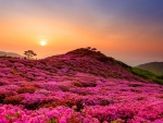 Hillside Flowers Field