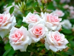 White and Pink Roses on a Bush