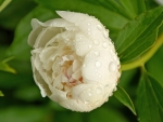 White Peony in Dewdrops