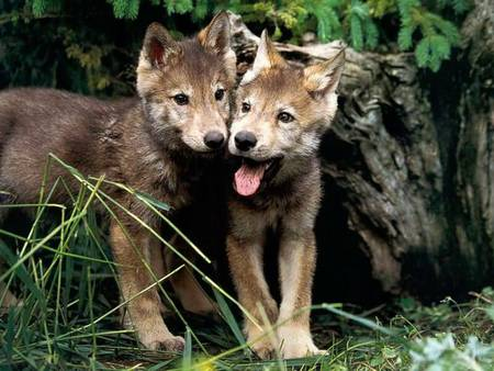 Wolf Pups - cute, wild, wolves, twins, pups