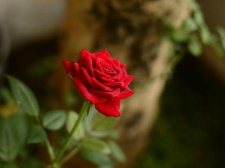 PRETTY RED ROSE