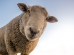 Close Up Sheep