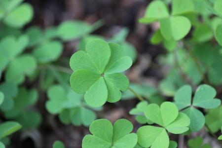Lucky Four-Leaf Clover - Photography