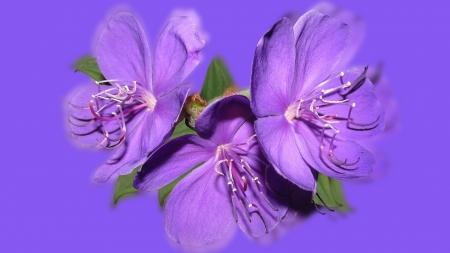 Purple flowers flowers nature background wallpapers on desktop purple flowers mightylinksfo