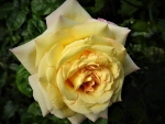 Yellow Peace Rose