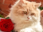 Cat and a rose
